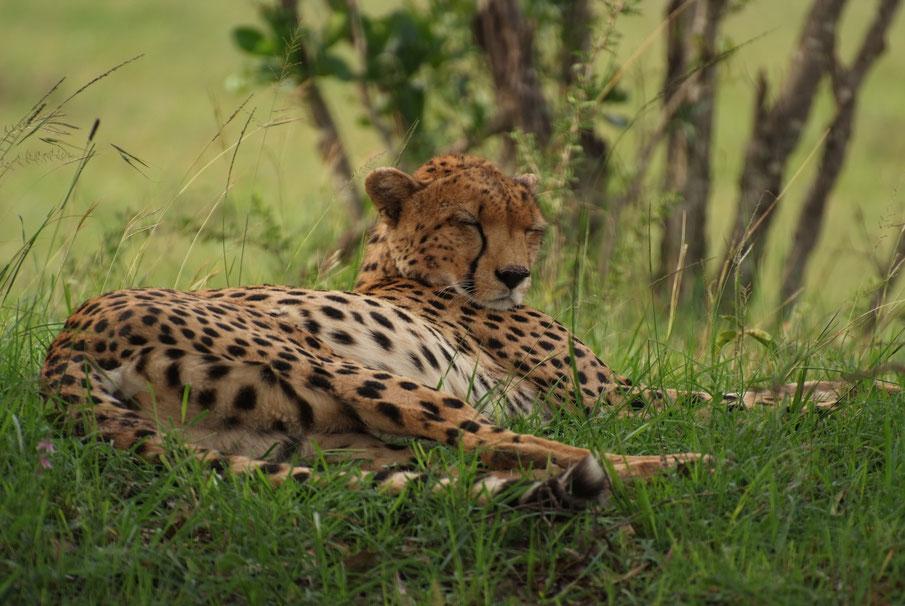 Gepardin beim Mittagsschlaf