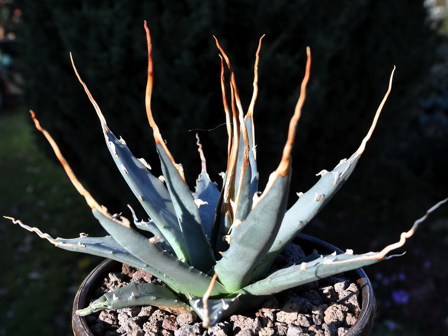 Agave utahensis nevadensis