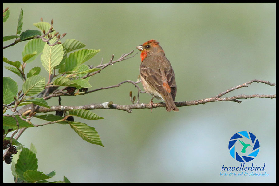 Common rosefinch Carpodacus erythrinus
