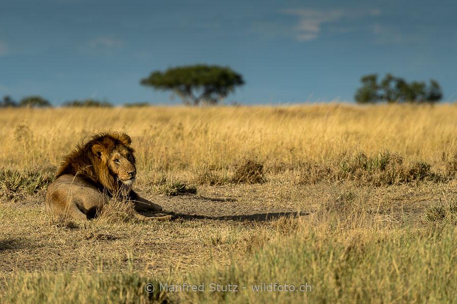 Löwenmännchen in seinem Lebensraum der Afrikanischen Savanne