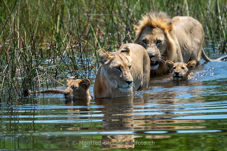 Löwenfamilie bei einer Flussquerung im Okavango-Delta, Botswana