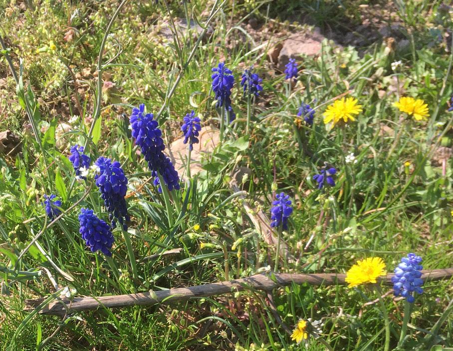 Frühlingsbote: Die Weinbergs-Traubenhyazinthe (Bild: R. Michalski)