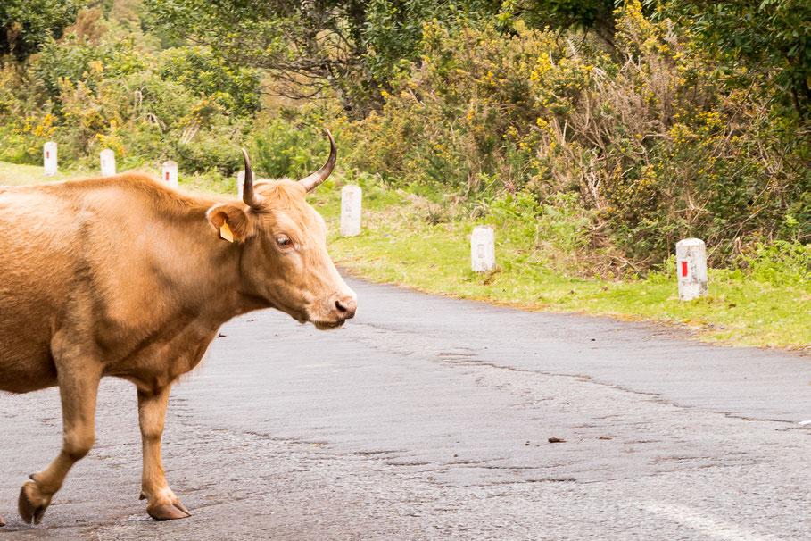Koeien, Madeira