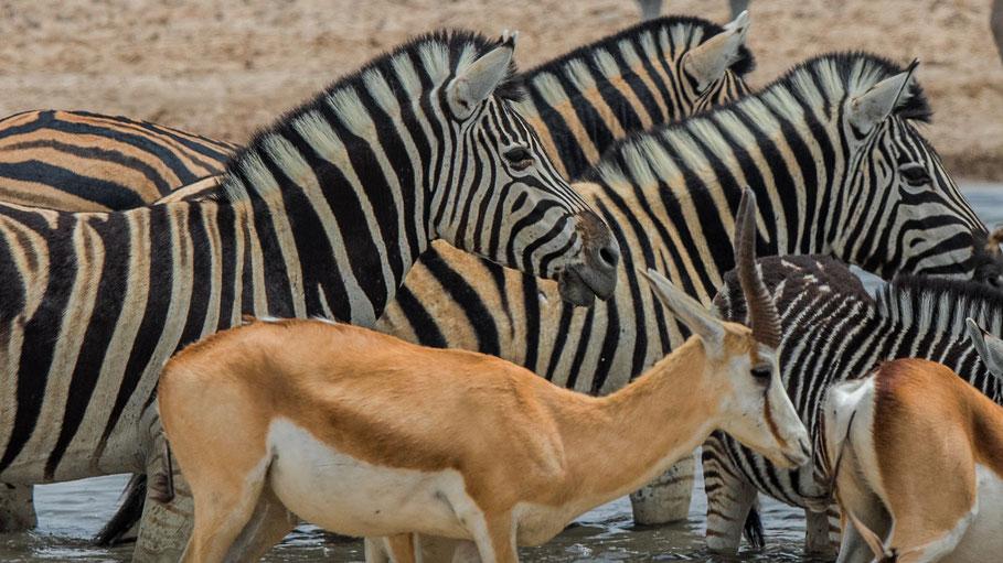 Zebras und Springböcke