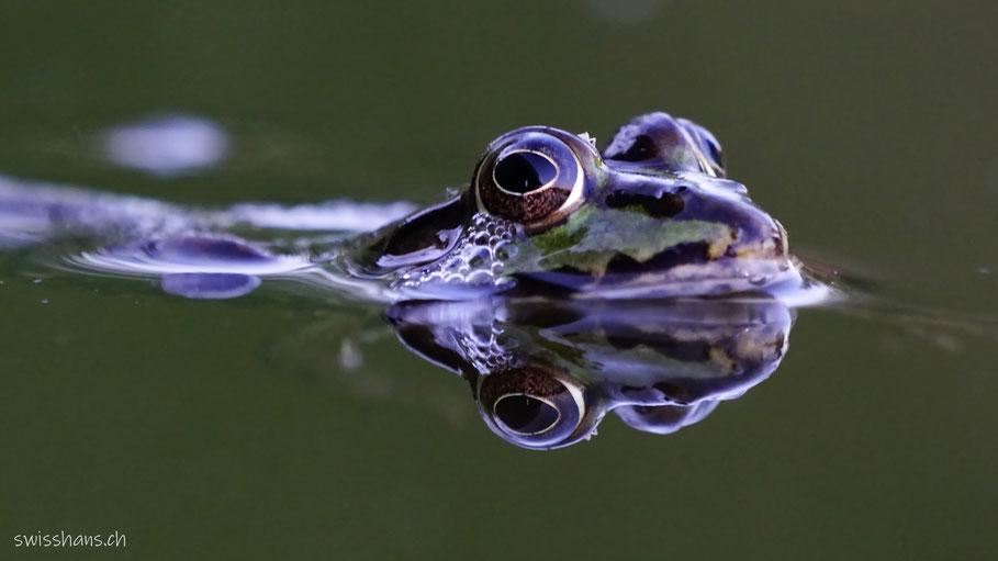 Frosch im Weiher der Schollenmühle Altstätten