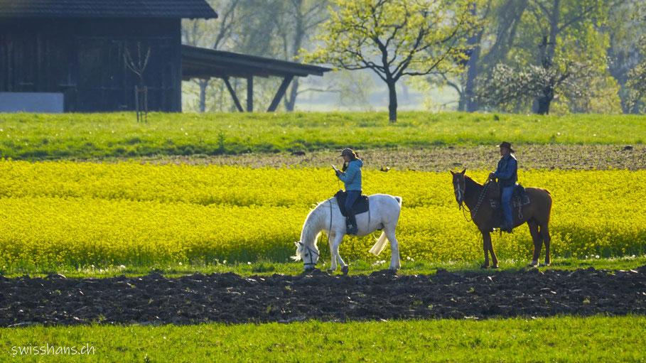 Zwei Pferde beim blühenden Rapsfeld im Riet bei Rebstein