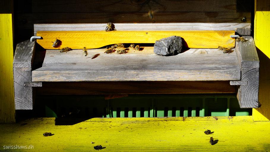 Bienen beim Einflugloch beim Lehrbienenstand Vaduz