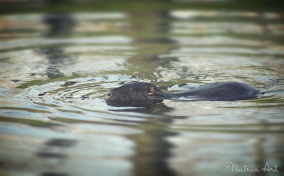 Nutria in der Abendsonne
