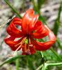 Fleur d'été de la steppe