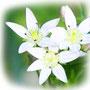 せんぶり(千振)の花