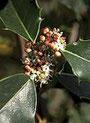 Holly (Stechpalme)