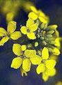 Mustard (Wilder Senf)