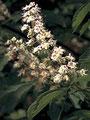 White Chestnut (Weiße Kastanie)