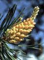 Pine (Schottische Kiefer)