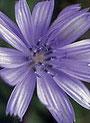Chicory (Wegwarte)