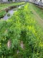 野川を彩る菜の花