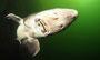 sibirischer Stör (Acipenser baeri)