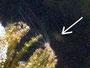 Süsswasserpolyp (hydra)