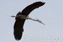 Airone Cenerino in volo calante verso il nido in garzaia