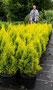 """Lebensbaum """"Golden Smaragd"""""""