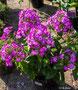 Phlox lila