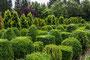 Buxbaum Formgehölze im Freiland