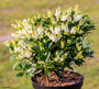 "Pieris japonica ""Debutante"""