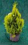 Gelber Smaragd Lebensbaum