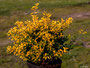 "Ilex convexa ""Golden Gem"""