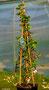 Hydrangea anomala susp. petiolaris Kletterhortensie