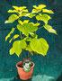 gelber Trompetenbaum