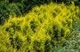 gelber Smaragd Lebensbaum im Freiland