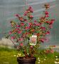 """Ribes sanguineum """"King Edward VII"""" Zier Johannesbeere"""