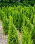 Smaragd Lebensbaum im Freiland