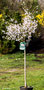 "Prunus incisa ""Kojou-no-mai"" Zierkirsche"
