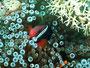 Schwarzflossen-Anemonenenfisch Philippinen big fish tour