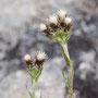 Gewöhnliches Katzenpfötchen; Antennaria dioica (L.) Gaertn.