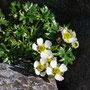 Gletscher-Hahnenfuß; Ranunculus glacialis L.