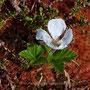 Moltebeere; Rubus chamaemorus  L. 1753