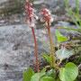 Kleines Wintergrün; Pyrola minor L.