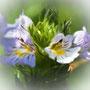 Augentrost. Euphrasia spp.