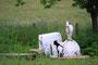 Chèvres - (55)