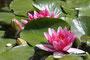 Nimphéa - Jardin Botanique du Montet (54) {Froideur, Pureté de coeur]