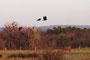 Corbeaux freux survolant un cheval, à Bruley