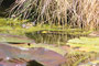 Grenouille dans une mare I, jardin botanique du Montet, Viller-les-Nancy