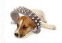 сайт JackRussel-terrier.com Как приучить щенка к ошейнику