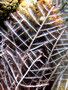 Aglaophenia cupressina