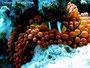 Amphiprion bicinctus - Rotmeer Anemonenfisch