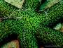Echinaster luzonicus