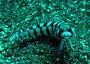 Parapercis tetracantha